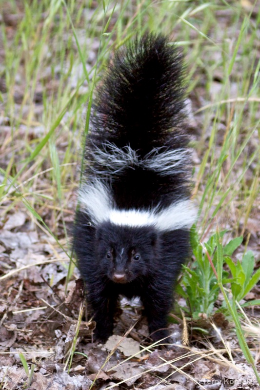 Skunk - ID: 10209114 © Terry Korpela