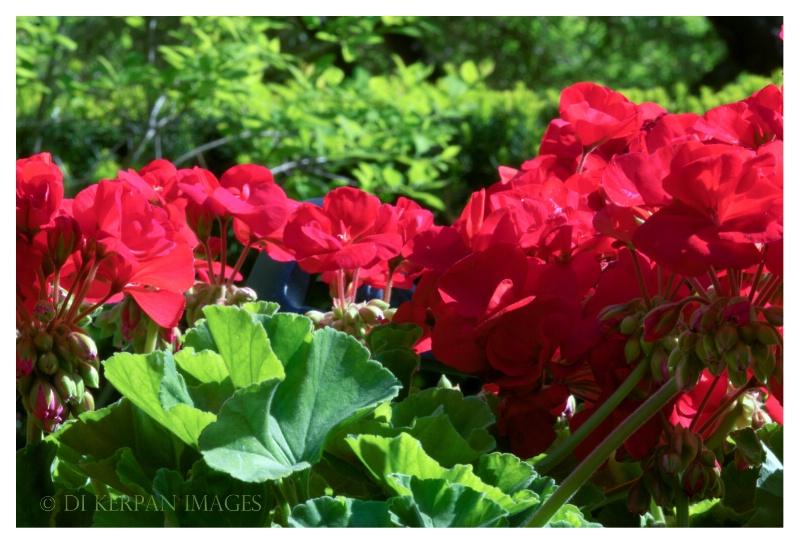 The Red Geranium