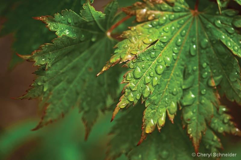 Rain Drops On Maple Leaves