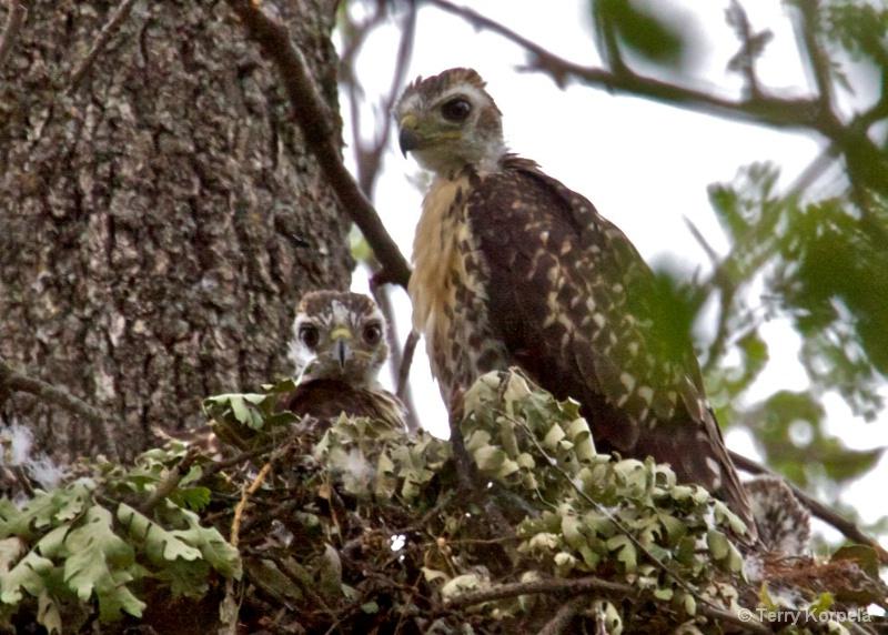Red Shouldered Hawks  infants - ID: 10217990 © Terry Korpela