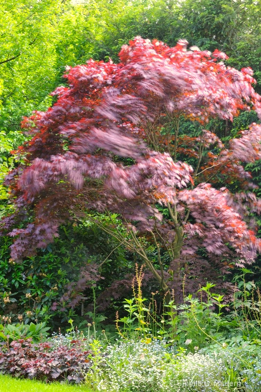 angry maple - ID: 10225562 © Sibylle G. Mattern