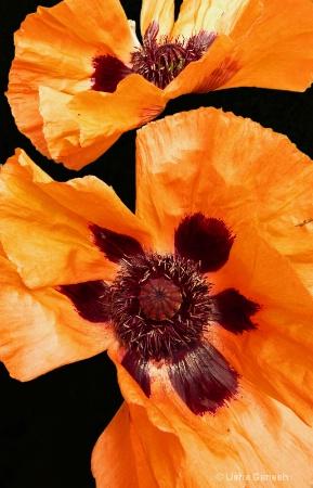 Orange Poppy Glow