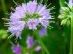 Satellite flower
