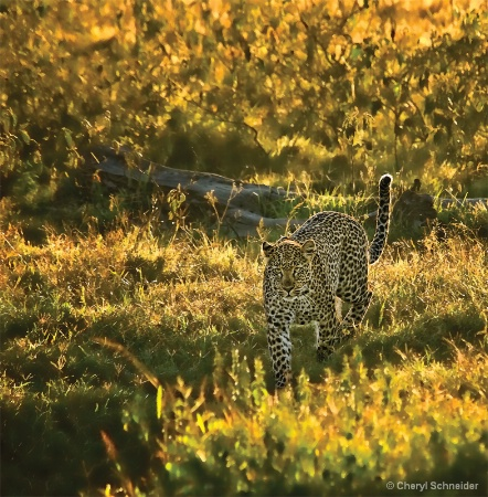 Leopard IV