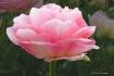 Giant Pink Tulip