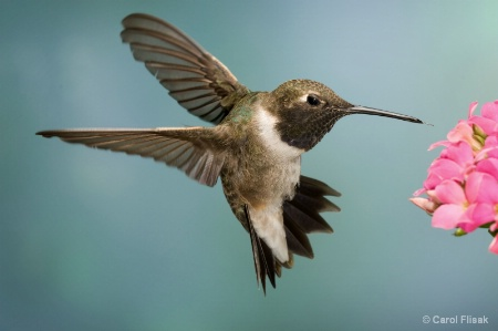 Black Chinned Hummer