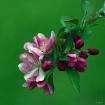 Crabapple  Blosso...