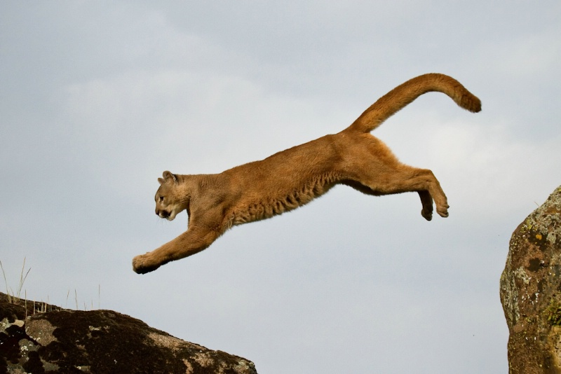 One giant leap for cougar-kind