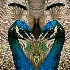 © Carol Flisak PhotoID # 10260126: Beak to Beak – Peacock Love
