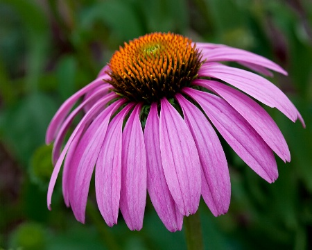 Splendid Cone Flower