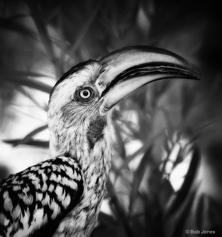 """Yellow-billed Hornbill [Tockus leucomelas]"
