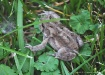 Little Froggie