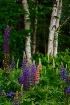 Lovely Lupines wi...