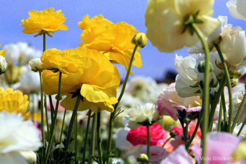 Ranunculus Candy - ID: 10285767 © Vicki Gilbreath