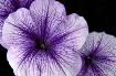 Petunia Details