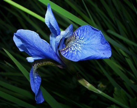 Boldly Blue