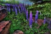 Lupines in the La...