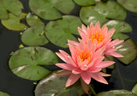 Powder Pink Waterlily