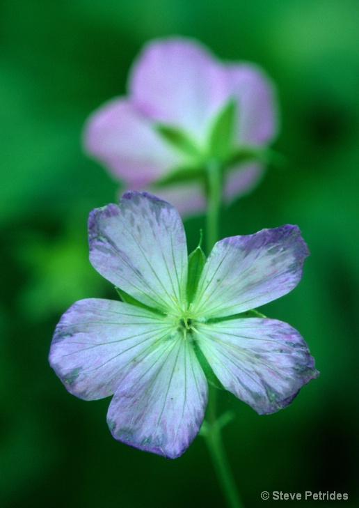 Wild Geranium - ID: 10298376 © Steven Petrides