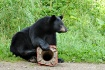 Black Bear Cub Pl...
