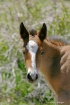 Wild Foal in Neva...