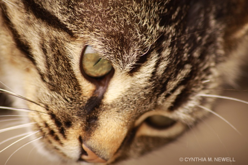 Tiger's Eye - ID: 10306191 © Cynthia M. Newell