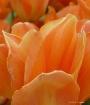 Tangerine Tulip P...
