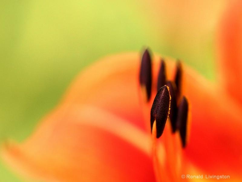 Stamen - ID: 10310472 © Ron Livingston