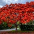 2Royal Poinciana Full Canopy - ID: 10311069 © Richard M. Waas