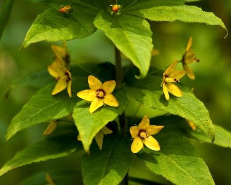 Whorled Loosestrife Lysimachia quadrifolia