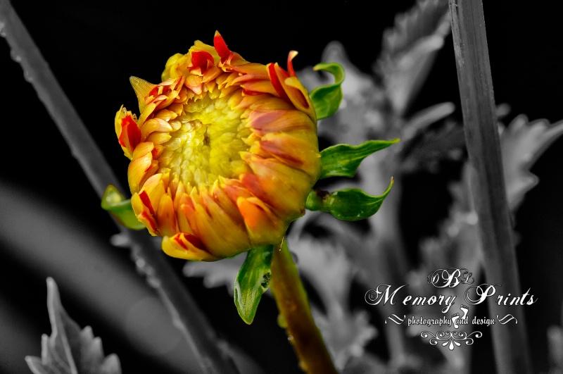 """""""Ready To Bloom"""" B/W - ID: 10325709 © Deborah L. Burgess"""