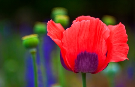 BiColored Poppy 2