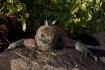 Marine iguana, Ga...