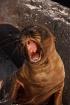 Sea lion pup, Gal...