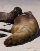 Nursing sea lion ...