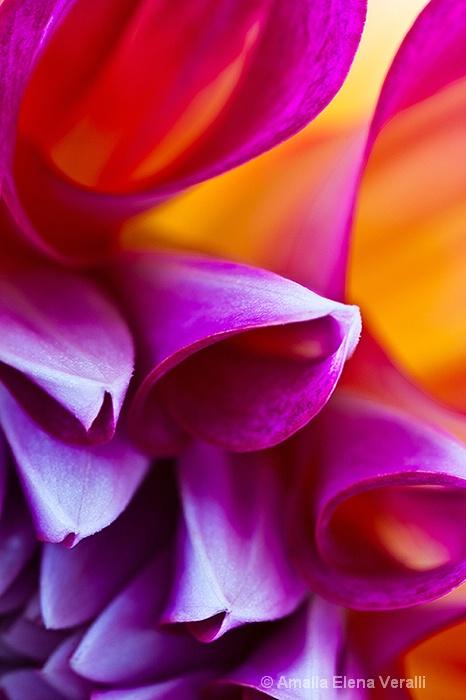 dahlia, red, purple, flower, macro