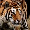 Siberian Tiger (P...