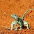 2Collared Lizard 2 - ID: 10353964 © Sherry Karr Adkins