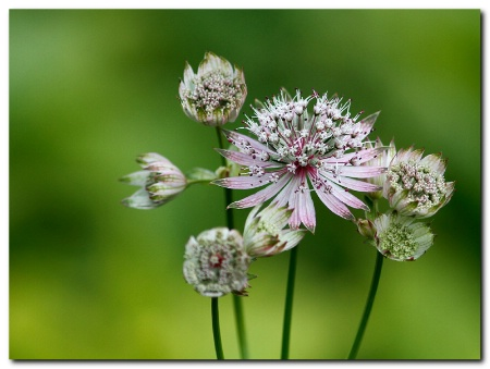 Astrantia major 2