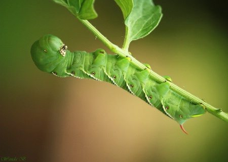 Larva of the Hawkmoth