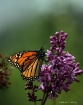 Monarch and Lilac