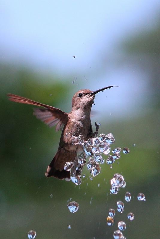 Bathing Kolibri