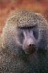 Baboon portrait, ...