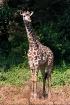 Young giraffe, La...