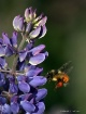 Purple Lupine and...
