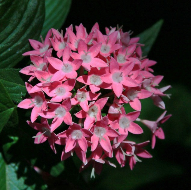 Pink Cluster