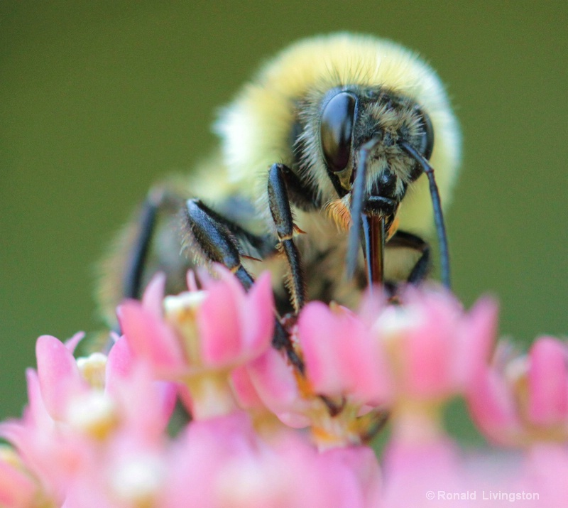 Bee Face - ID: 10390213 © Ron Livingston