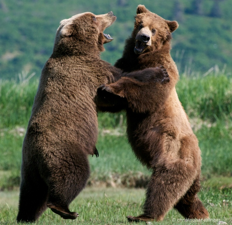 DSC_5561 Brown bears dancing - ID: 10393193 © Chris Attinger