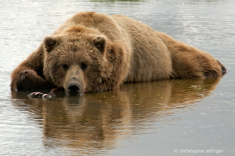 DSC_2256 Brown bear cooling off in stream - ID: 10393195 © Chris Attinger