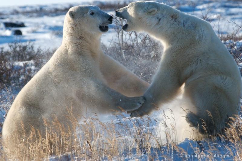 DSC_7911 Polar bears play fightind - ID: 10393218 © Chris Attinger